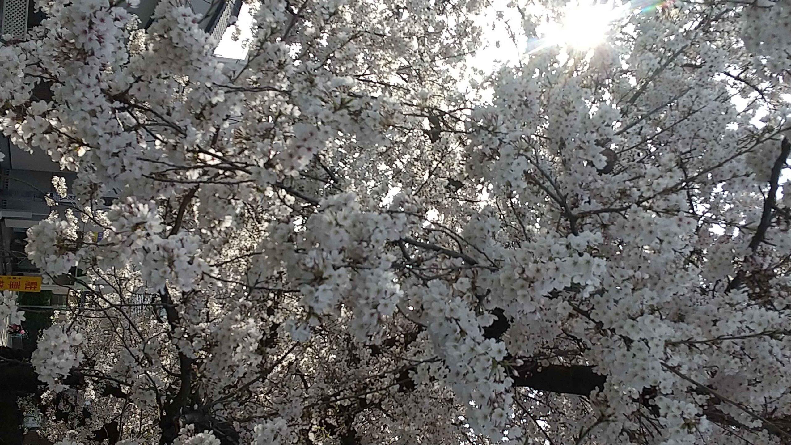 花園の桜 その1