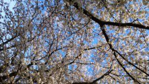 花園の桜 その2