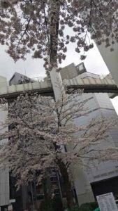 栄町駅前の桜