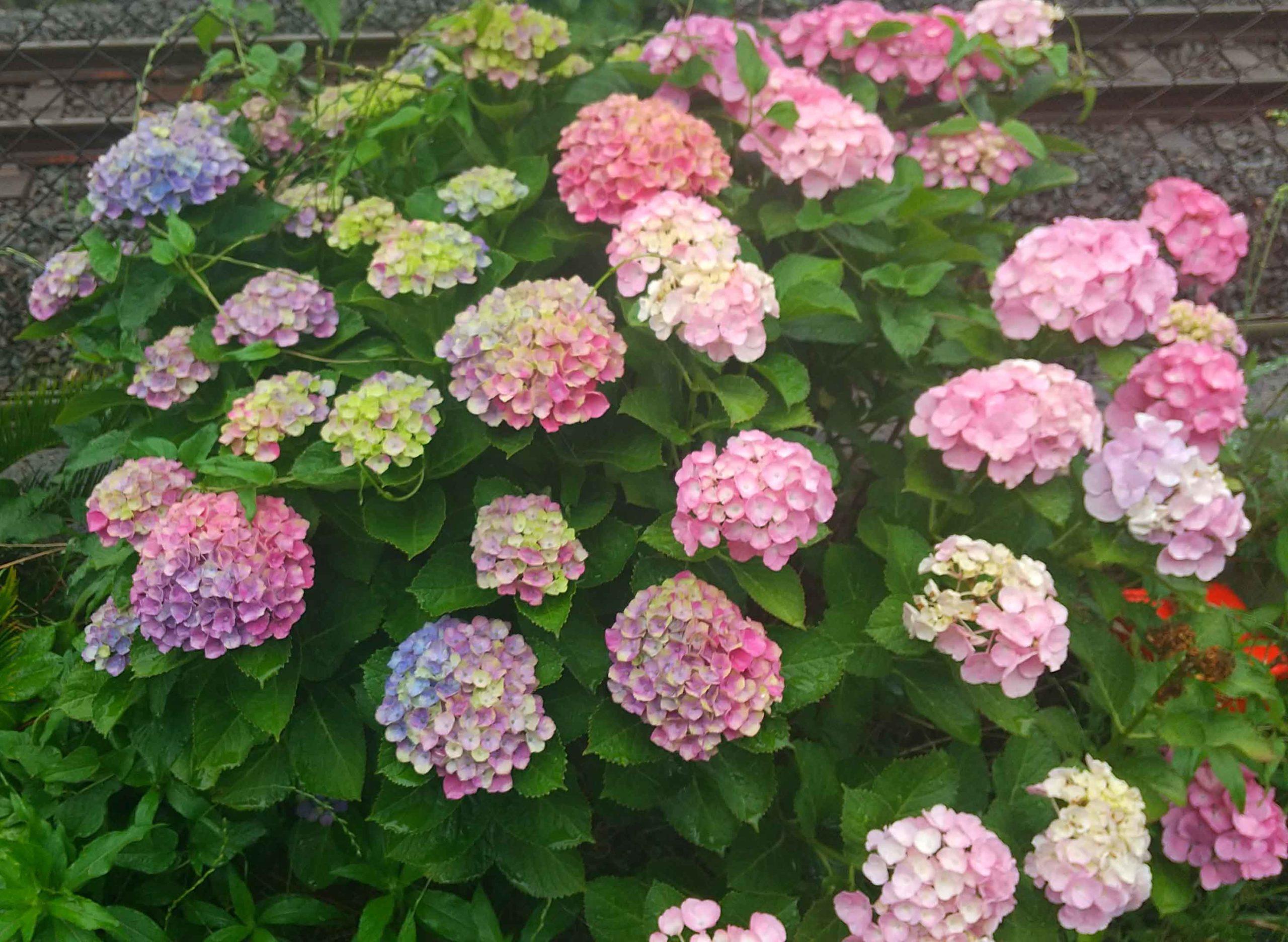 家の近くで咲く紫陽花